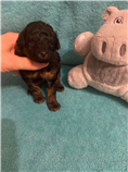 Phantom black/red female tiny toy, estimated weight 5.5 lbs and 10 in.