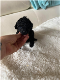 Black female tiny toy, estimated weight 0 lbs and 0 in.