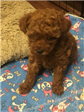 Red female teacup, estimated weight 4 lbs and 9 in.