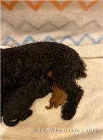 Puppies from Spicy  and DeLaniche Dark Angel Jagermeister : Born on November-04-19