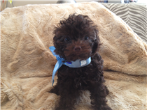 Dark brown male teacup, estimated weight 3.5 lbs and 7 in.