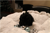 Noire female tiny-toy, estimated weight 6 lbs and 10 in.