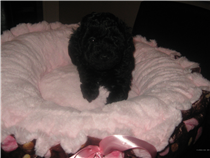 Noir female miniature, estimated weight 8 lbs and 12 in.