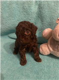 Brown female teacup, estimated weight 3.5 lbs and 8 in.